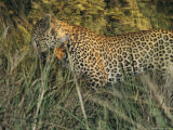 Leopard Kills an Impala in Search of a Meal Photographic Print by Kim Wolhuter