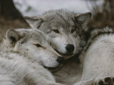 Napping Gray Wolves Fotoprint van Jim And Jamie Dutcher