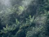 Rain Forest with Palm Trees and Fog on a Mt. Des Voeux Photographic Print by Tim Laman
