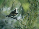 Osprey with a Fish Perched in a Pine Tree Photographie par Klaus Nigge