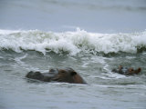 Hippopotamuses Swimming in the Surf Photographic Print by Michael Nichols
