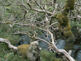 Tangle of Tree Branches in a Patagonia Rain Forest Photographic Print by Peter Carsten