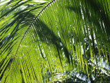 Detail of a Palm Frond Photographic Print by Klaus Nigge
