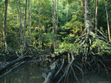 Tangles of Buttressed Mangrove Roots Streamside in a Forest Photographic Print by Tim Laman