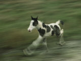 Wild Pony Foal Running in a Grassy Field Photographic Print by James L. Stanfield