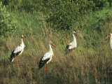 White Storks in High Grass Photographie