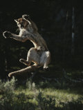 Mountain Lion Leaps into the Air Photographic Print by Jim And Jamie Dutcher