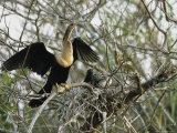 Anhinga and its Offspring in a Nest on Floridas Gulf Coast Photographic Print by Klaus Nigge