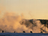 Bison Feeding near a Steaming Geyser in a Winter Landscape Photographic Print by Bobby Model