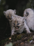Trio of Two-Week-Old Mountain Lion Kittens Photographic Print by Jim And Jamie Dutcher