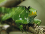 Close View of a Crested Iguana Perched on a Tree Branch Photographic Print by Tim Laman