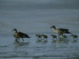 Family of Ducks on a Mud Flat on the Edge of a Saline Lake Photographic Print by Joel Sartore