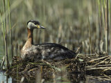 Grebe Sitting on its Nest in a Wetland Photographie par Klaus Nigge