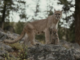 Mountain Lion and an Eight-Week-Old Kitten Photographic Print