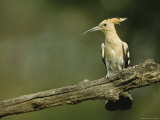 Hoopoe Perched on a Tree Branch Photographic Print by Klaus Nigge