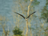 Osprey in Flight Photographic Print by Klaus Nigge