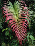 Large and Striking Red-Tipped Fern Frond Photographic Print by Tim Laman