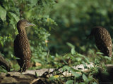 Juvenile Herons Perched on a Fallen Log in a Marshy Area Photographic Print by Tim Laman