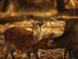Mother and Fawn Sika Deer Photographic Print by Raymond Gehman