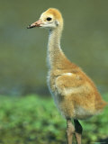 Juvenile Crane on Floridas Gulf Coast Photographic Print by Klaus Nigge