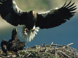 Adult Stellers Sea Eagle Flies to its Nest and Waiting Eaglet Fotografie-Druck von Klaus Nigge