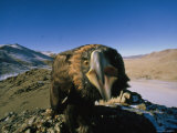 Golden Eagle Lashes Out at the Camera Photographic Print by David Edwards