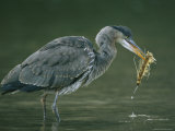 Juvenile Gray Heron Forages in Shallow Waters Photographic Print by Klaus Nigge