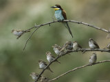 European Bee Eater Perched on a Branch with a Flock of Sparrows Fotografisk tryk af Klaus Nigge