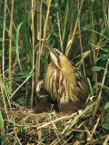 Eurasian Bittern Sitting on its Nest with Chicks Photographie par Klaus Nigge