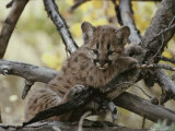 Eight-Week-Old Mountain Lion, Felis Concolor, Climbs Tree Limbs Photographic Print by Jim And Jamie Dutcher
