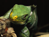 Close View of the Head of a Crested Iguana Photographic Print by Tim Laman