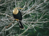 Anhinga Perches on a Tree Branch on Floridas Gulf Coast Photographic Print by Klaus Nigge