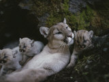 Mother Mountain Lion, Felis Concolor, Rests with her Two-Week-Olds Photographic Print by Jim And Jamie Dutcher