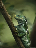Close View of a Crested Iguana Perched on a Tree Branch Fotografie-Druck von Tim Laman