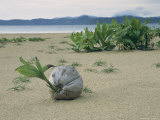 Sprouting Coconut Lying on a Sandy Beach Photographic Print