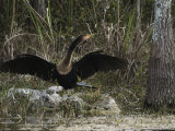 Anhinga Spreads its Wings on Floridas Gulf Coast Photographic Print by Klaus Nigge