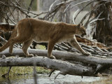 Mountain Lion Crosses a Creek on a Fallen Log Photographic Print by Jim And Jamie Dutcher