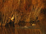 Female Mallard Takes Flight as a Male Swims near Grasses Photographic Print