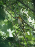 Female Golden Oriole with an Insect in her Bill Photographic Print