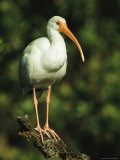 White Ibis Perches on a Tree Branch on Floridas Gulf Coast Photographic Print by Klaus Nigge