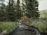 Mountain Lion Leaps across a Forest Stream Reproduction photographique par Jim And Jamie Dutcher