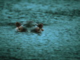 Hippopotamus Peers Out of the Water Fotografisk tryk af Michael Nichols