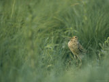 Eurasian Woodcock Standing in Tall Grass Photographic Print by Klaus Nigge