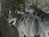Two Gray Wolves Look over Their Shoulders Photographic Print by Jim And Jamie Dutcher