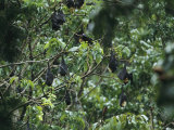 Flying Foxes Roosting in a Tree Photographic Print by Tim Laman
