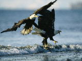 Pair of American Bald Eagles Approach the Shoreline Photographic Print by Klaus Nigge