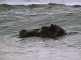 Hippopotamus Swimming in the Atlantic off of Gabons Coast Photographic Print