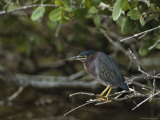 Green Heron on Floridas Gulf Coast Photographic Print