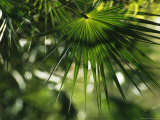 Sunlight Shines on a Palm Frond Photographic Print by Klaus Nigge