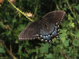 Tiger Swallowtail Rests on a Thistle Branch Photographic Print